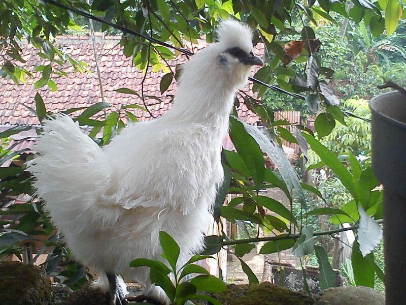 Ayam Kapas