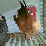 Sejarah dan Asal-Usul Ayam Serama