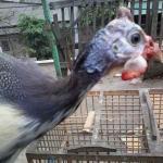 Jengger Ayam Mutiara Plangkok Indukan