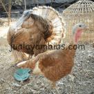 Sepasang Ayam Kalkun Bourbon Red