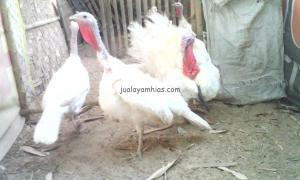 Ayam Kalkun Albino Dewasa