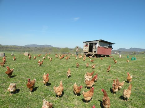 Saat Ayam di sedang Cuaca Panas