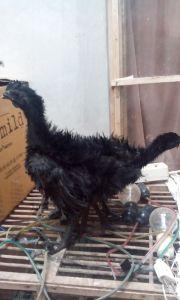Ayam Cemani Walik Umur 3 Bulan