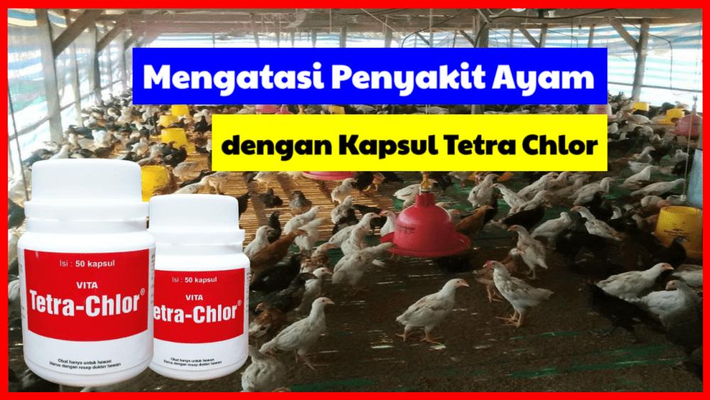 Berbagai penyakit ayam dapat sebuhkan menggunakan Kapsul Tetra Chlor