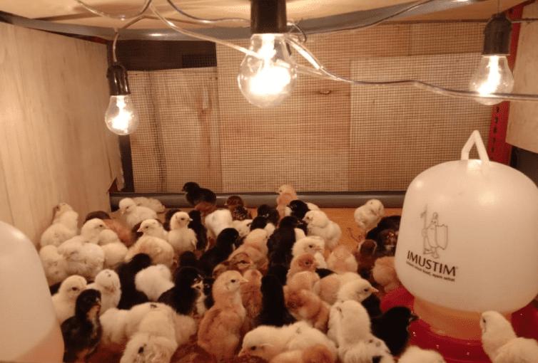 Ketika ayam masih menginjak usia anakan, anak ayam akan mudah terserang penyakit., Untuk itu perlua upaya pencegahan dengan memberikan vaksin dan vitamin yang tepat agar kesehatan tetap terjaga