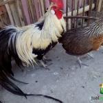 Sepasang Ayam Phoenix Dewasa