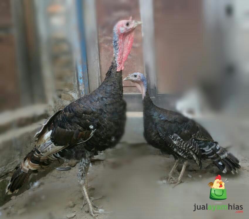wpid ayam kalkun bronze remaja .jpg  Jual Ayam Hias HP : 08564 77 23 888 | BERKUALITAS DAN TERPERCAYA  Ayam Kalkun Bronze Remaja