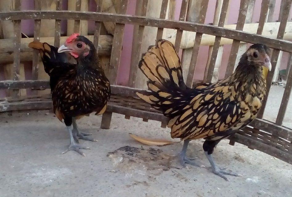 Ayam Batik Kanada Umur Hampir 3 Bulan Pesanan Pak Bambang
