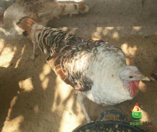Ayam Kalkun Golden Palm Betina