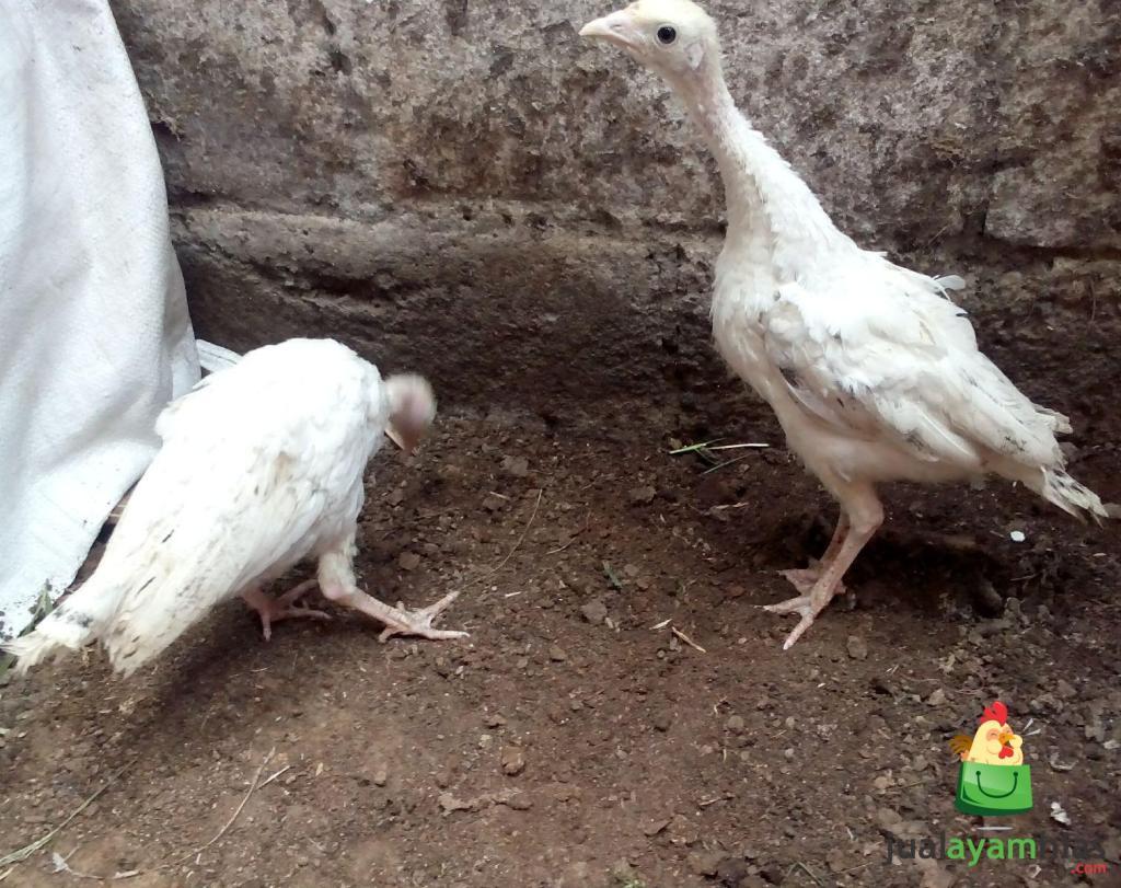 Ayam Kalkun Royal Palm Umur 2 Bulan Pesanan Bapak Abu Rambe di Jember Jawa Timur