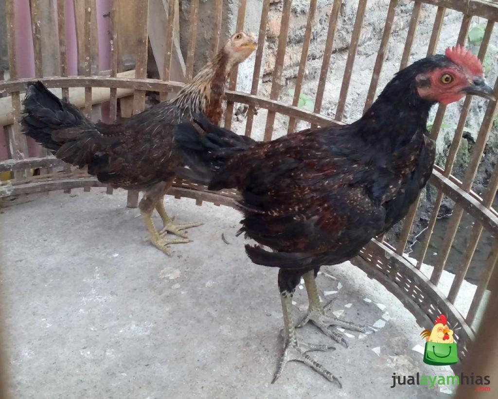Ayam Ketawa umur 3 Bulan Pesanan Pak Rindang di Bekasi