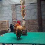 Ayam Serama Juara Galeri Foto Ayam Serama Jual Ayam Hias HP : 08564 77 23 888 | BERKUALITAS DAN TERPERCAYA Galeri Foto Ayam Serama Galeri Foto Ayam Serama Terbaru Serta Cara Pemeliharaan Ayam Serama yang Baik dan Benar