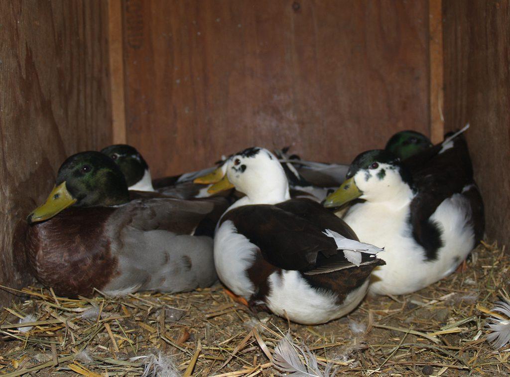 call duck Beternak Entok Jual Ayam Hias HP : 08564 77 23 888   BERKUALITAS DAN TERPERCAYA Beternak Entok Peluang Usaha Sampingan dengan Beternak Entok