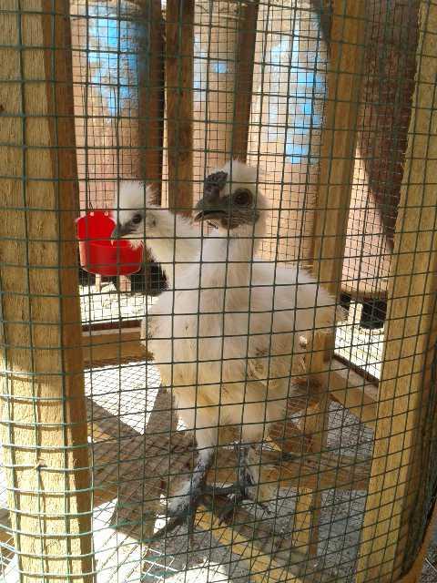 img 20151224 223617 Jual Ayam Hias HP : 08564 77 23 888 | BERKUALITAS DAN TERPERCAYA Berbagai Macam Ayam Hias Akhirnya di Terima Pak Darsono di Sorong Papua
