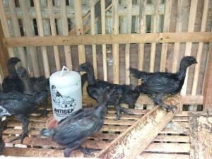 Beberapa Ayam Hias Pesanan Bapak Muhlis di Karawang