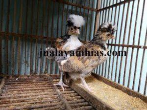 Ayam Poland Usia 2 Bulan2