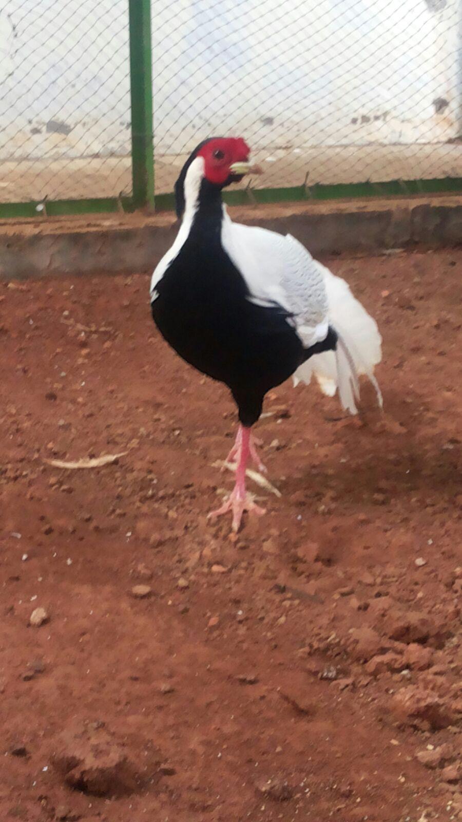 Ayam Silver Pheasent Dewasa