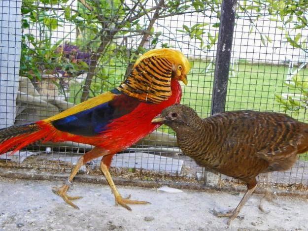 Ayam Golden Pheasent Dewasa