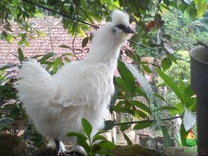 Tips Mudah Memelihara Ayam Kapas