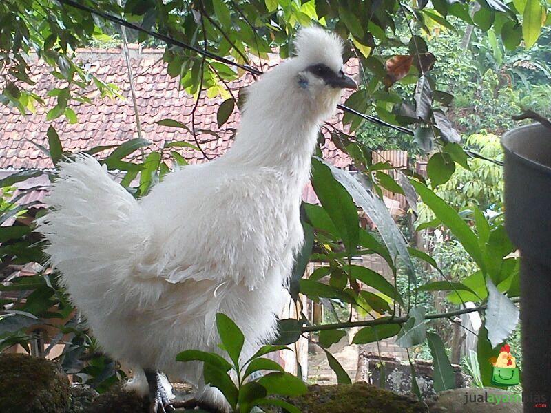 Ayam Kapas Image