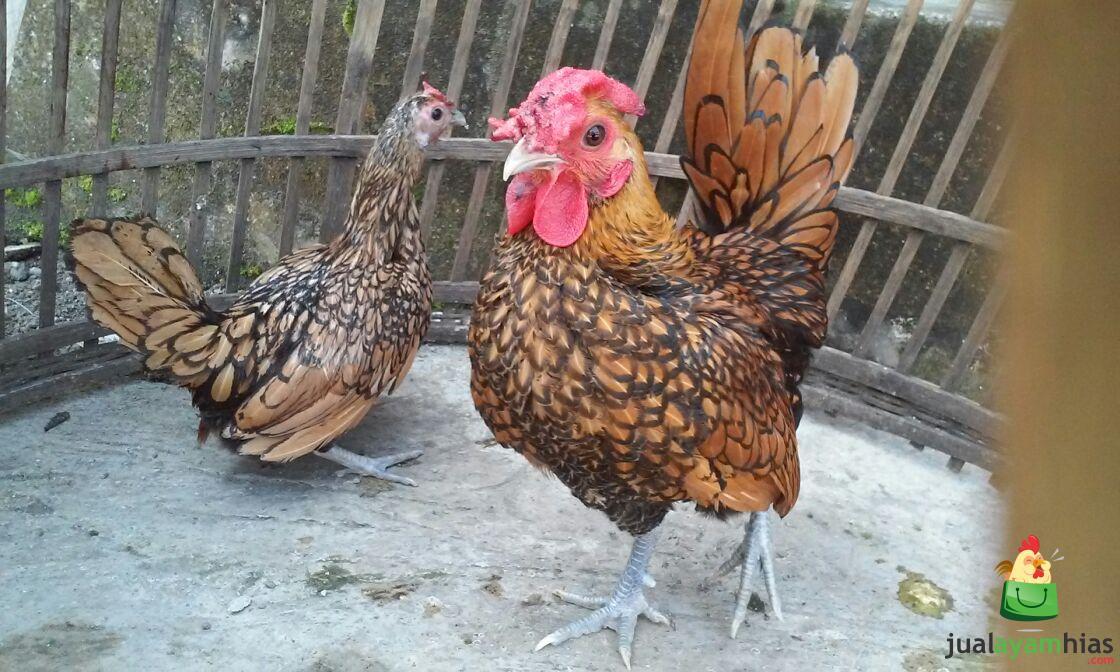 Ayam Batik Kanada Dewasa Siap Produksi Pesanan Pak Sugiarto di Bekasi
