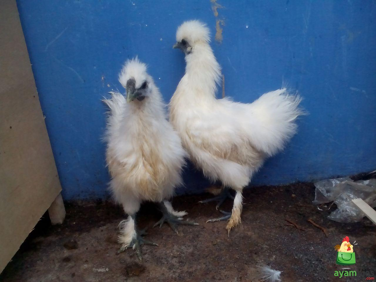Jual Ayam Kapas dari Bibit Sampai Dewasa Siap di Ternakan