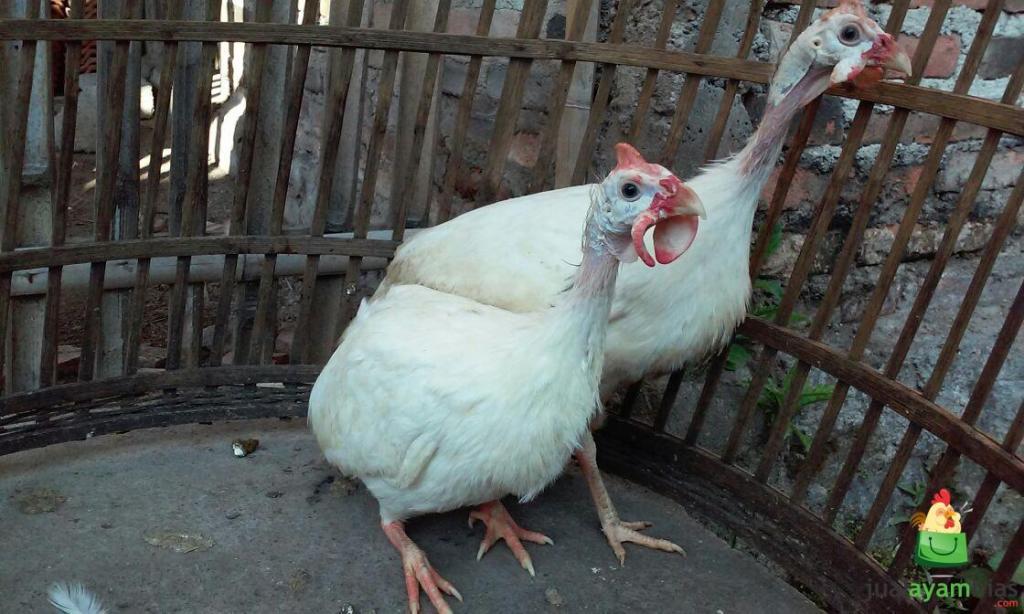 Ayam Mutiara Putih Indukan Sepasang Pesanan Bapak Dedyh di Subang