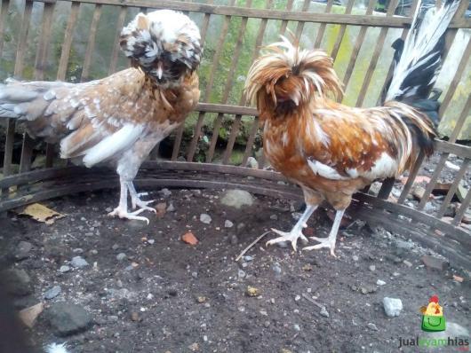 Ayam Poland Indukan Sepasang Pesanan Bapak Andi di Jakarta