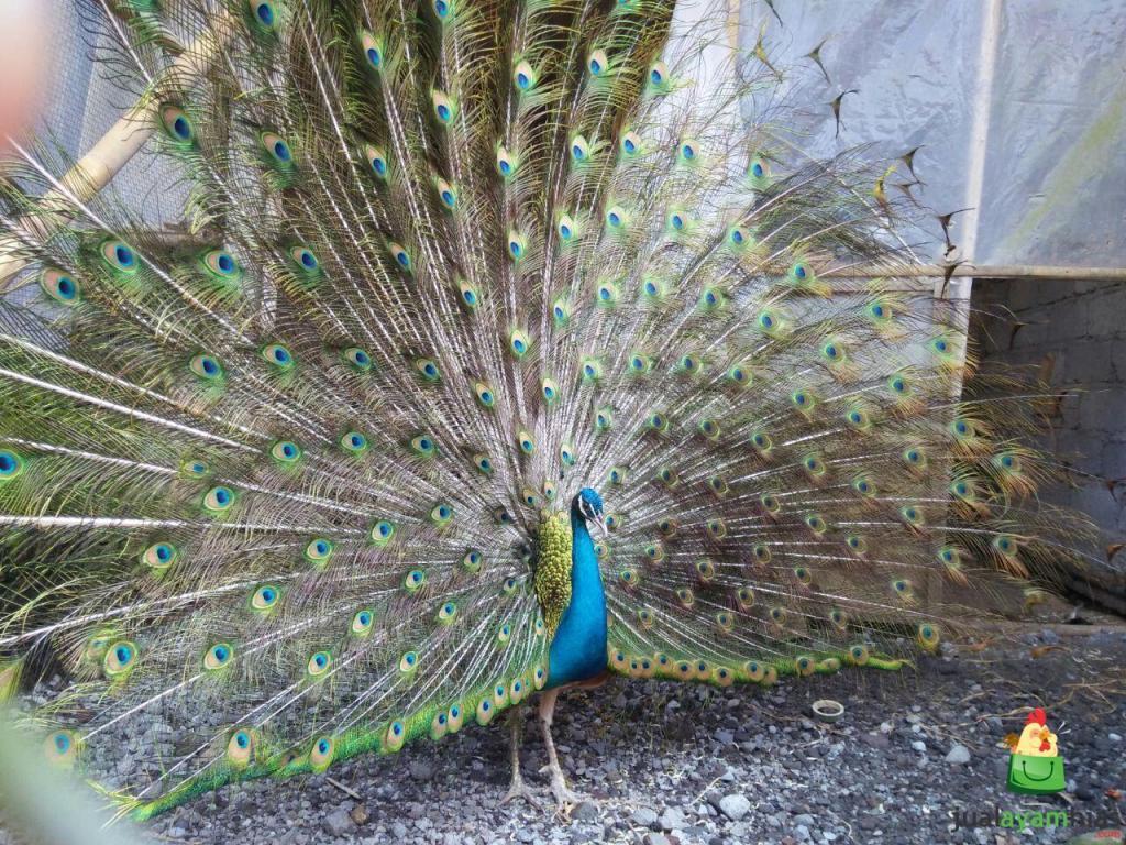 Foto Burung Merak Biru