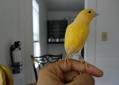 4 Hal Dasar yang Berkaitan Dengan Penjinakkan Burung Kenari