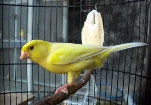 Penting! 6 Faktor Sebelum Memulai Beternak Burung Kenari