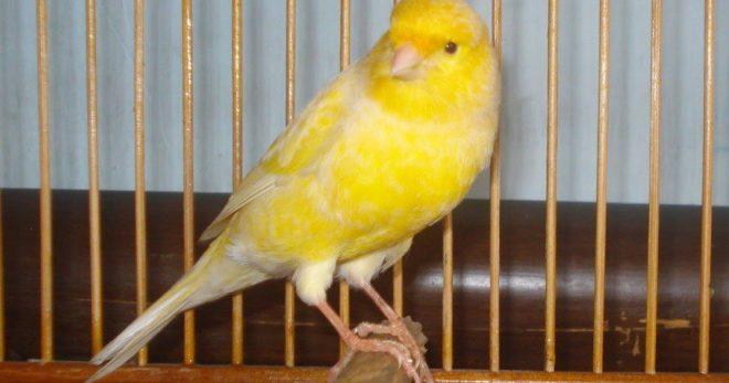 Tips Menangani Burung Kenari Saat di Tinggal Berlibur