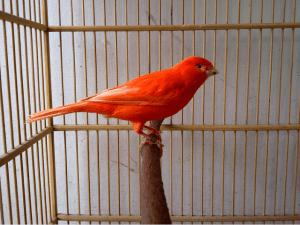Burung kenari, jual kenari, kenari, perawatan kenari merah lokal, kenari merah wortel, ternak kenari, jual burung kenari, harga burung kenari