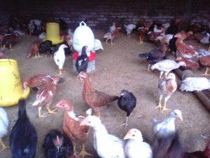 Ternak Ayam Kampung Super