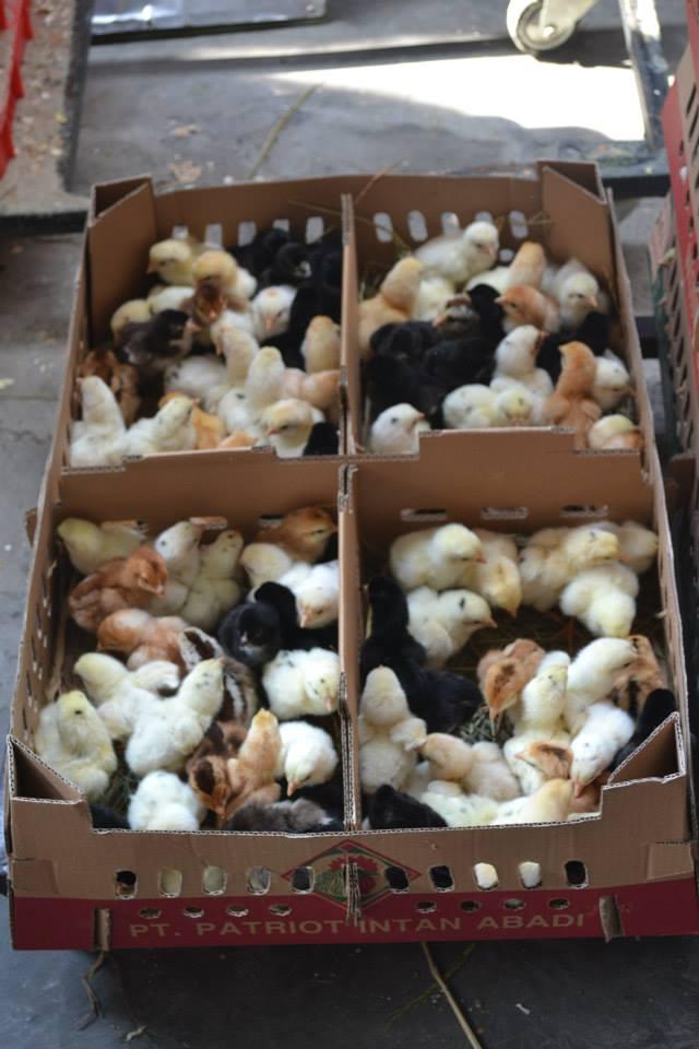 DOC Ayam Joper (Ayam Jawa Super) persilangan dari ayam bangkok pejantan dengan petelur betina siap di kirim ke pelanggan kami