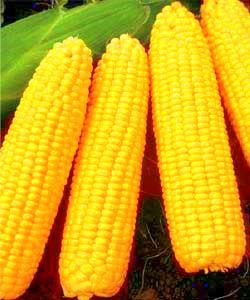 Pemberian jagung untuk ayam JOPER di karenakan jagung memiliki kandungan karbohidrat yang banyak.