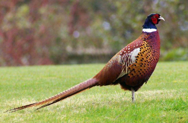 Uniknya Ringneck pheasant ini sering di jadikan pertanda apabila terjadi gempa bumi