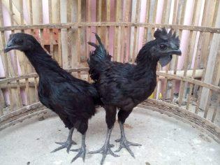 Ayam Cemani Usia 5 Bulan