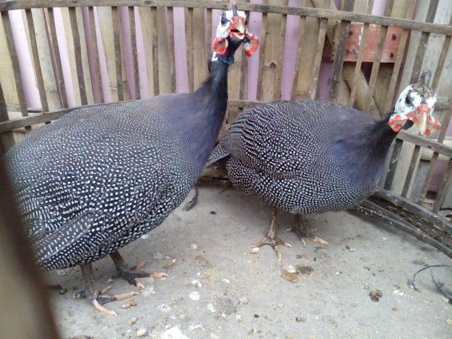 Ayam Mutiara yang Eksotis