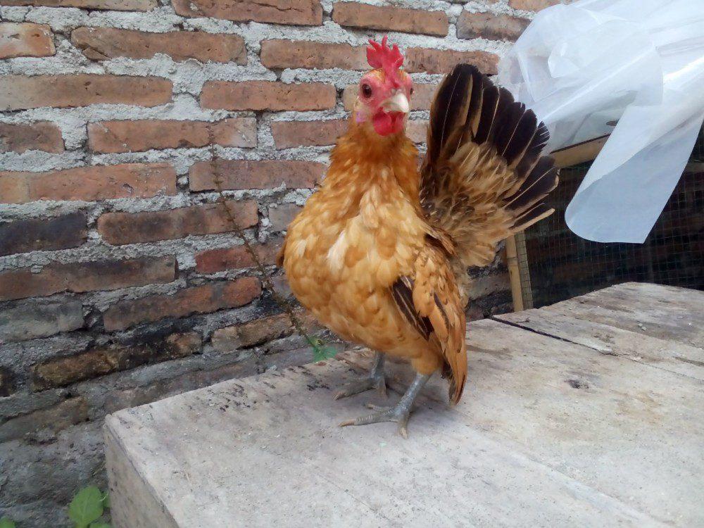 87 Gambar Ayam Serama Paling Bagus