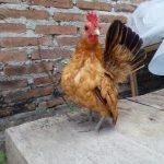 Ayam Serama dari Negeri Jiran
