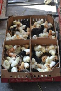 Jual Ayam Kampung Super