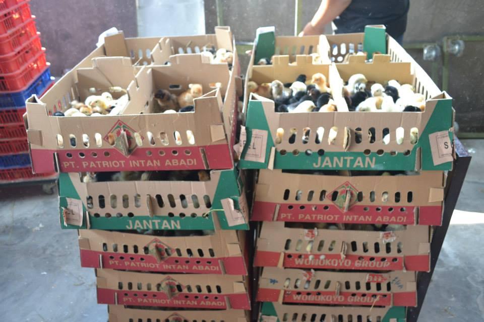 DOC Ayam joper siap di berangkatkan. Kami menyediakan DOC ayam joper dengan kemampuan kirim ke seluruh penjuru Indonesia.