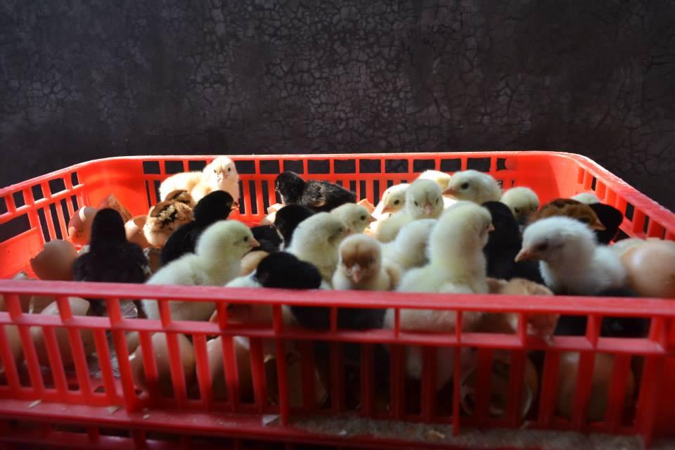 DOC Ayam kampung super (JOPER) siap kirim ke seluruh wilayah Indonesia