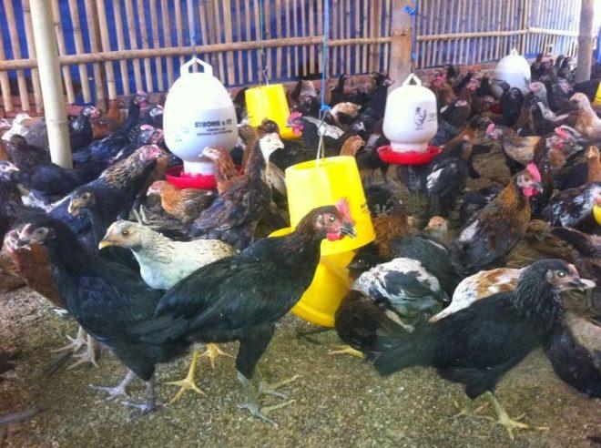 Bibit ayam kampung super