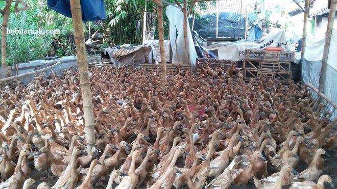 bisnis ternak bebek