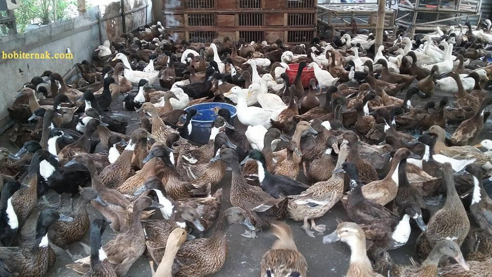 Peluangusaha ternak bebek pedaging saat ini semakin diminati oleh masyarakat