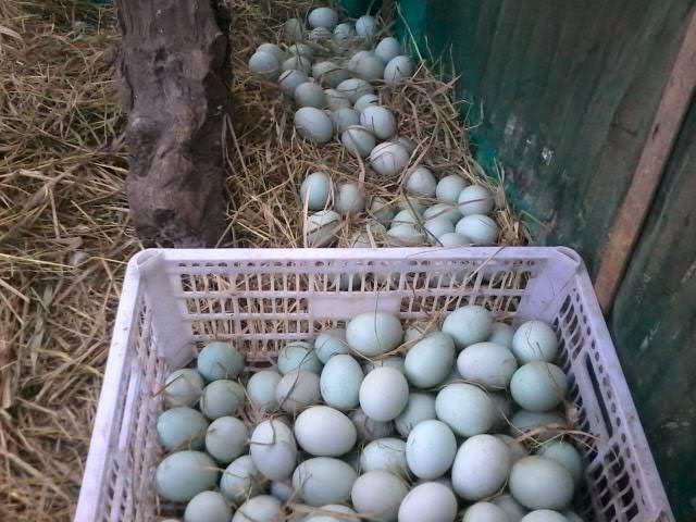 Ternak Bebek Petelur - Saat Panen Telur Bebek