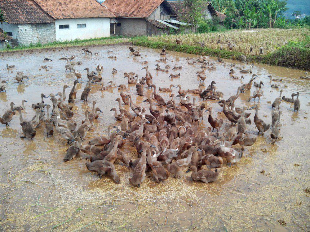Bebek Karawang juga merupakan salah satu jenis bebek lokal yang berasal dari Pulau Jawa | Bebek Karawang