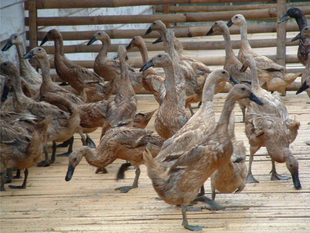 Bebek Tegal dapat bertelur hingga 250 butir per ekor dalam setahun | Bebek Tegal